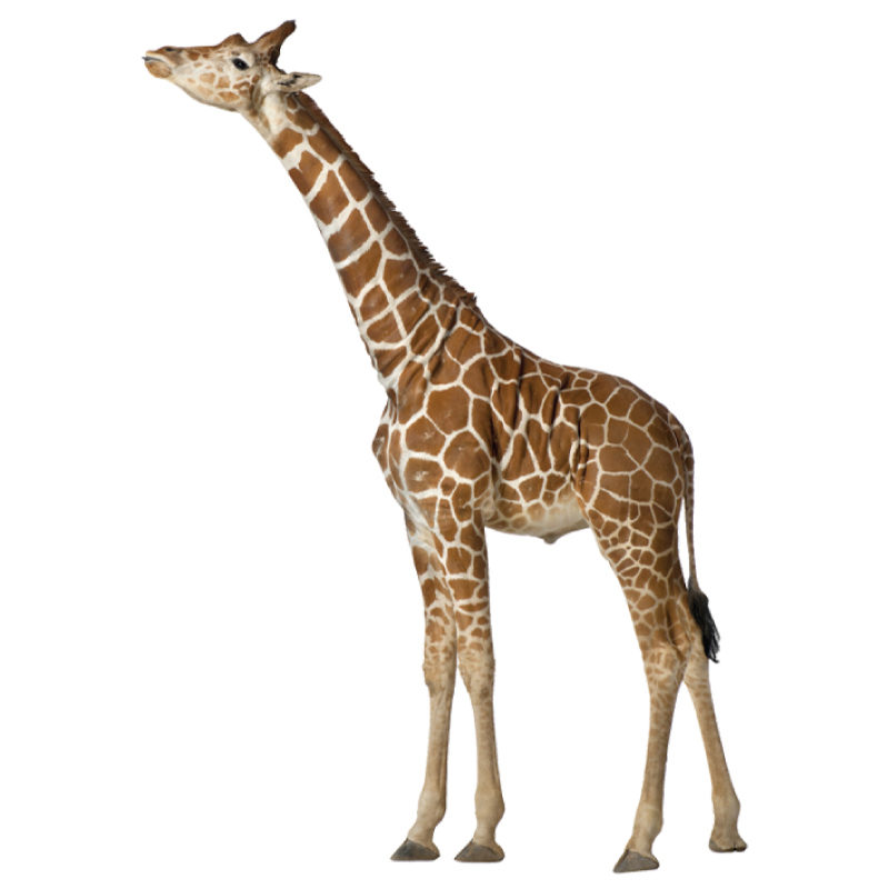 Real life giraffe removable wall sticker