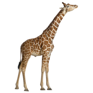 Real life giraffe removable height chart wall stickers