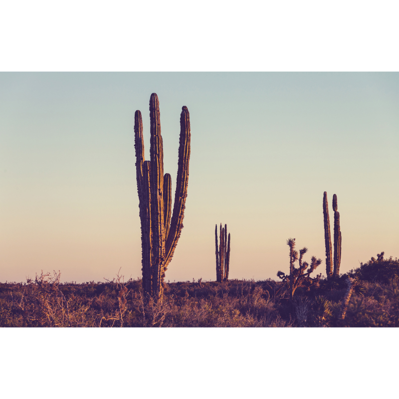 Cactus removable wall mural in landscape shape