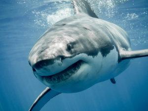 Amazing Planet Mural Image - Shark