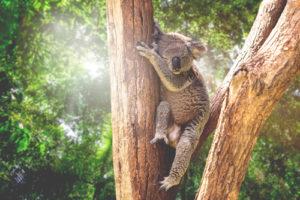 Australia Mural Image - Koala