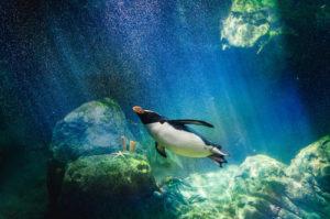 Amazing Planet Mural Image - Swimming Penguin