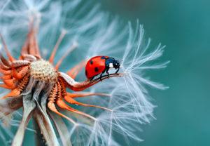 Amazing Planet Mural Image - Ladybug on Dandelion