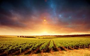 Australia Mural Image - Vineyard 2