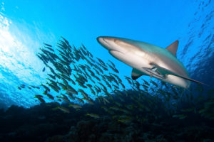 Amazing Planet Mural Image - Shark with Fish
