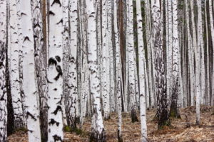 Custom Teen Mural Image - Birch Forest