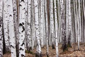 Custom Teen Mural Image - Birch Forest