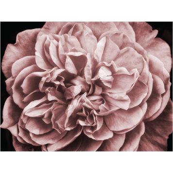 Blush Rose mural
